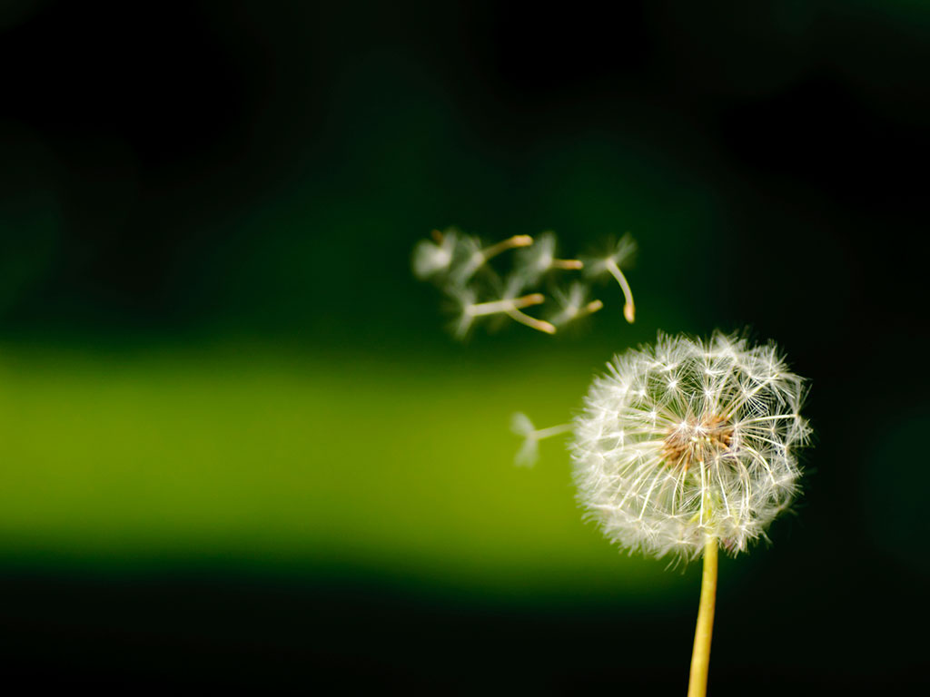seeded dandelion with floating seeds creative work
